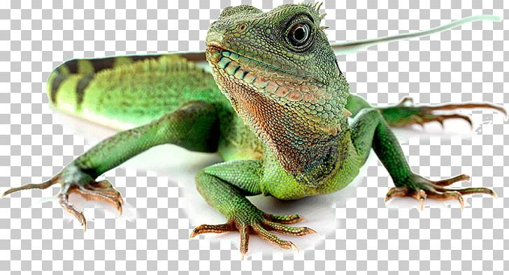 Reptile komodo chinese australian. Lizard clipart water dragon