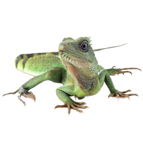 Ecovivarium step in to. Lizard clipart water dragon