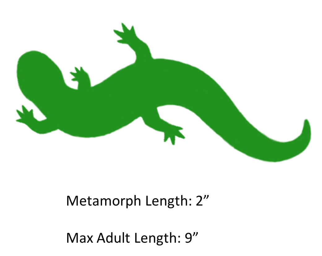 Spotted salamander the shaded. Lizard clipart yellow spot