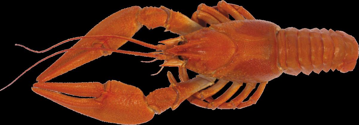 Lobster clipart langosta. La de crust ceos
