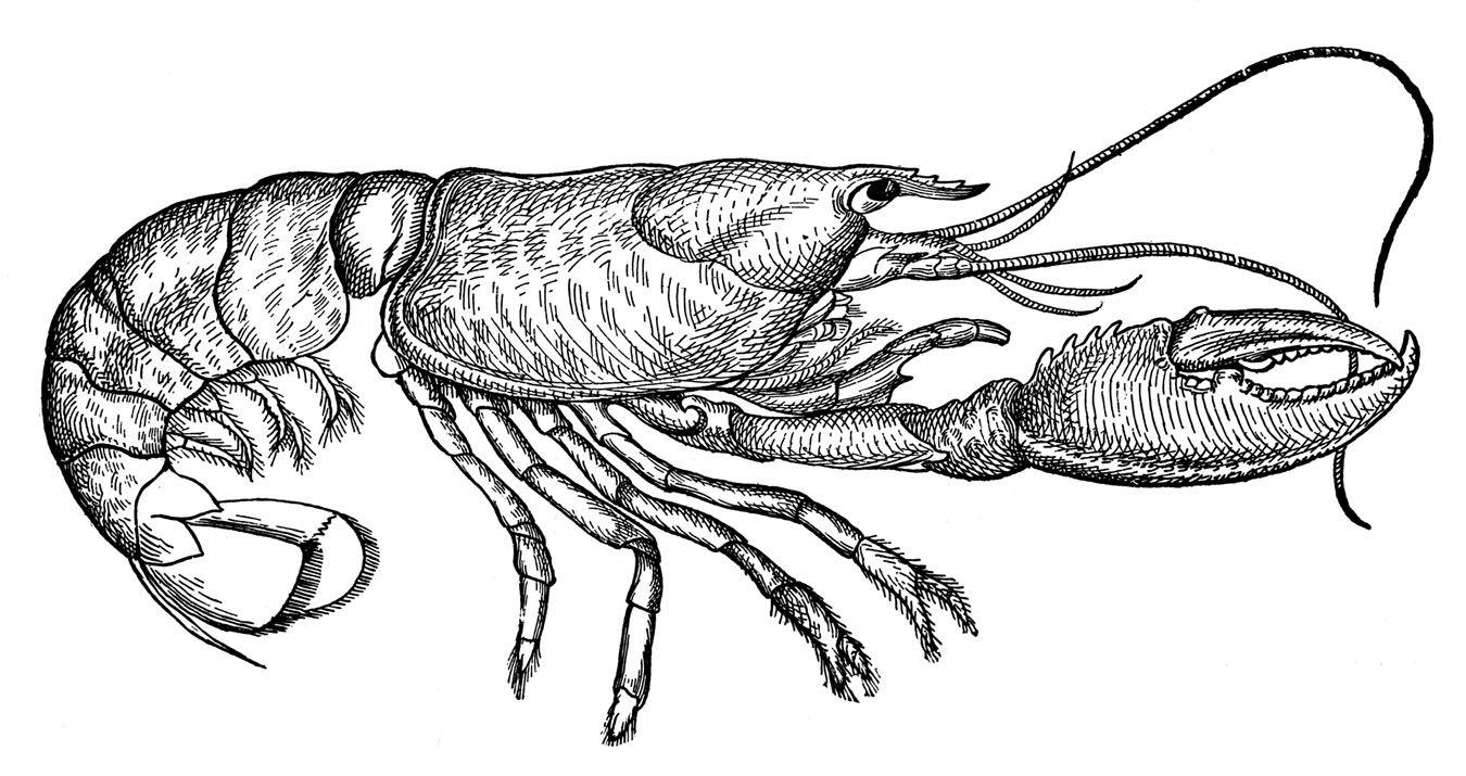 Lobster clipart sketch. Vintage clip art diagram