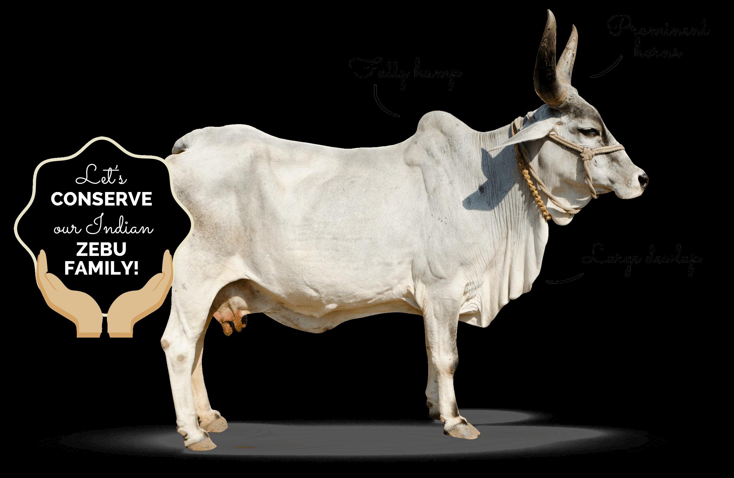 Ox clipart zebu. Indian whyzebu