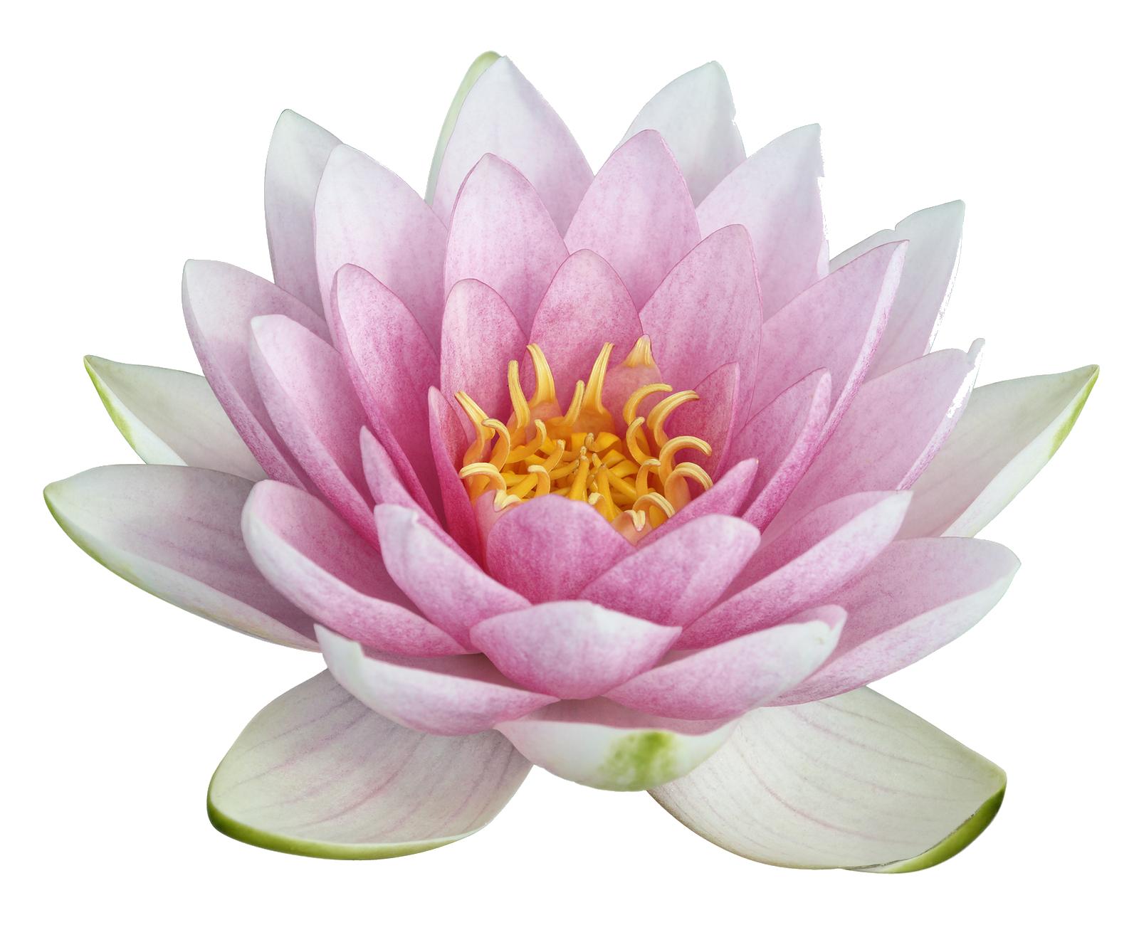 Lotus flower png. Images transparent free download
