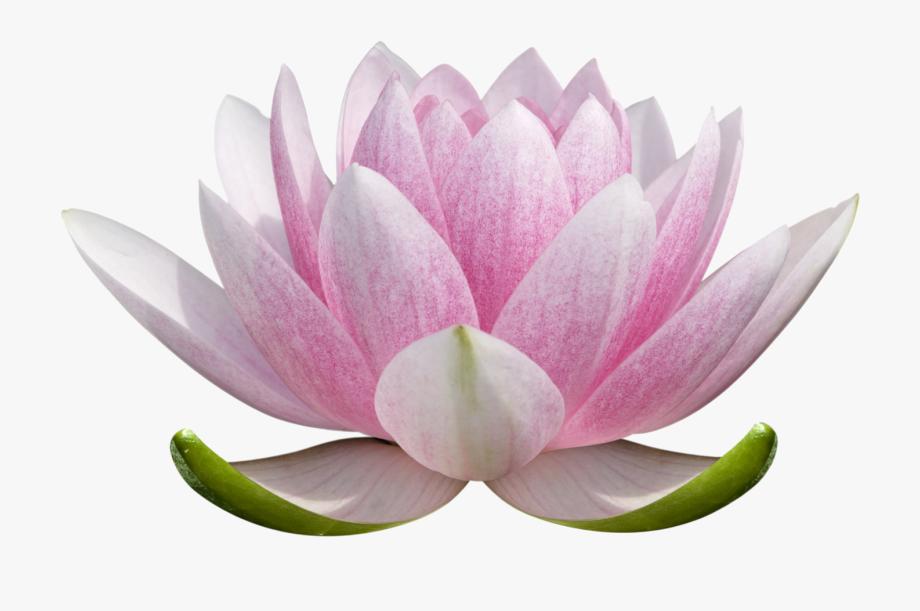 Lotus clipart lotus plant. Blossom transparent background