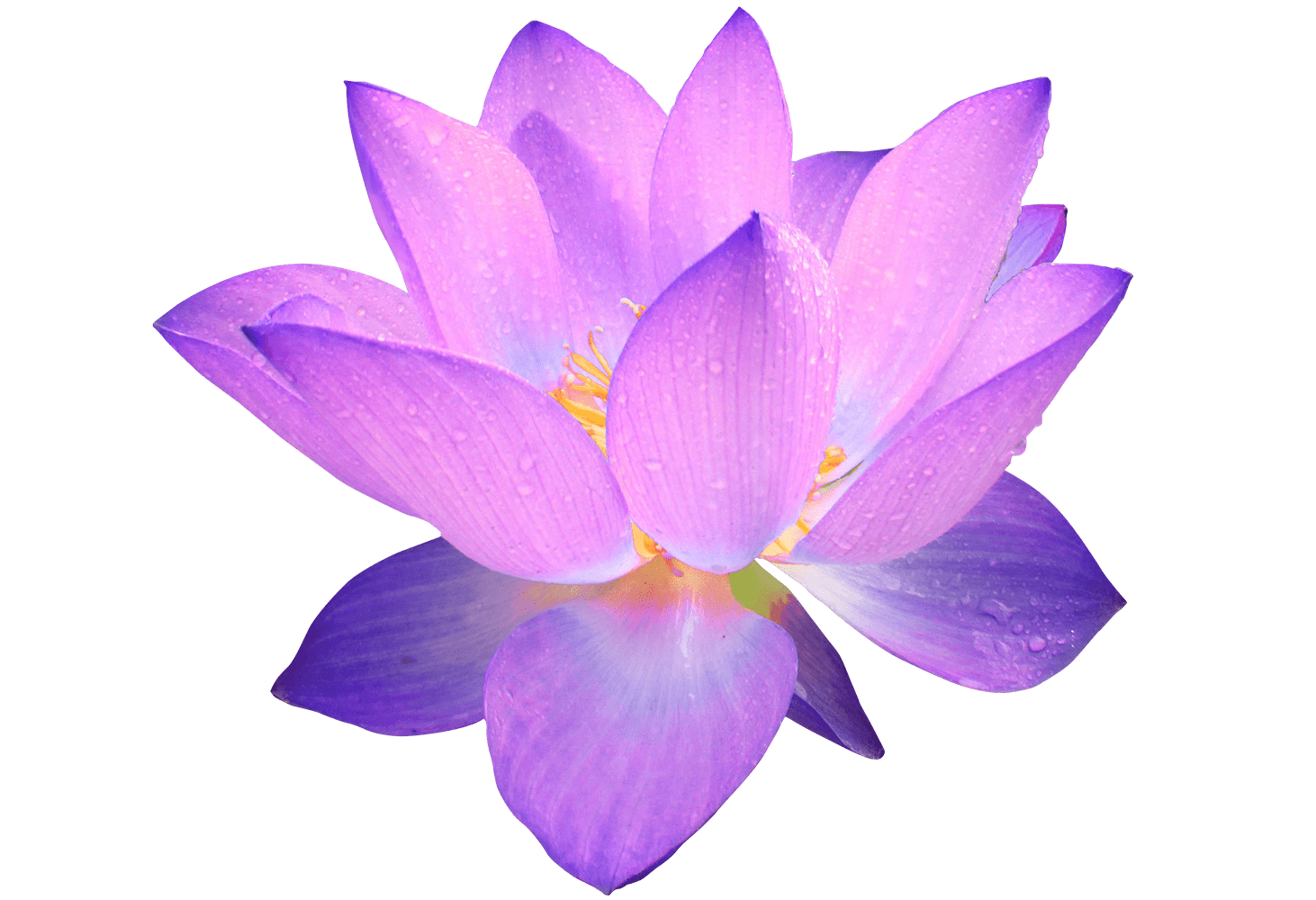 Purple flower png. Transparent stickpng
