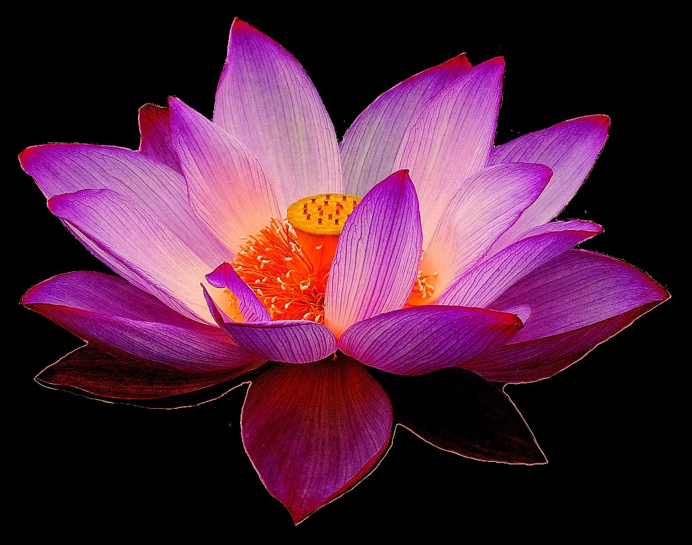 Purple clipart water lily. Nelumbo nucifera lotus yoga