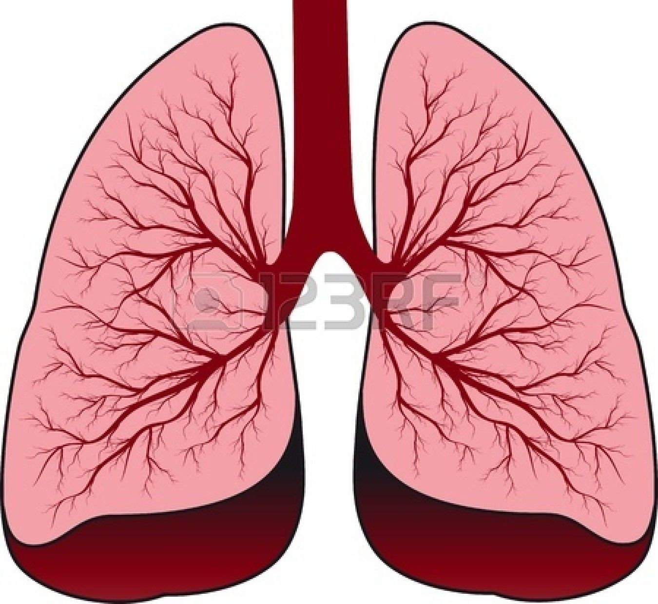 Lungs clipart. Bronchial system human royalty