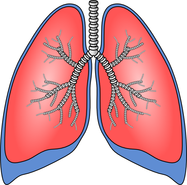 Lungs clip art at. Red clipart human