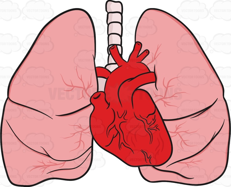 Lungs clipart anatomical heart. And