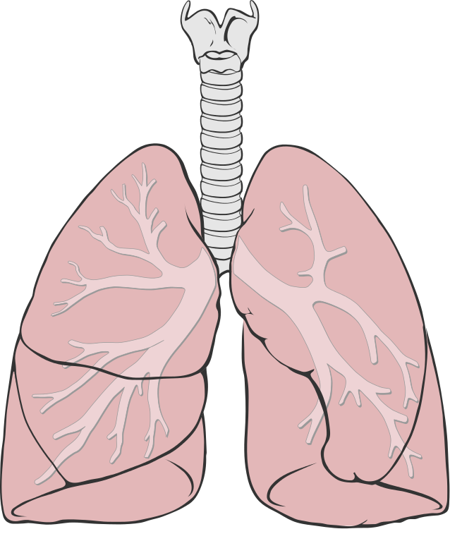 Lungs clipart anatomical heart. File diagram simple svg