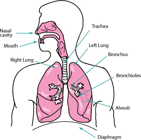 Lungs clipart cardiorespiratory fitness. Exercise physiology respiratory system
