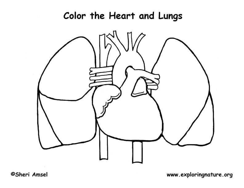Printable human anatomy pages. Lungs clipart coloring page