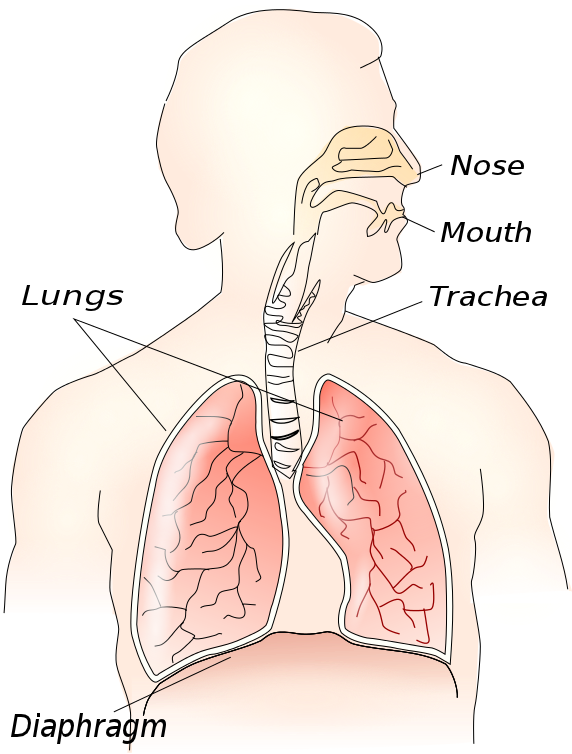 Nose clipart respiratory system. Medical anatomy lungs png
