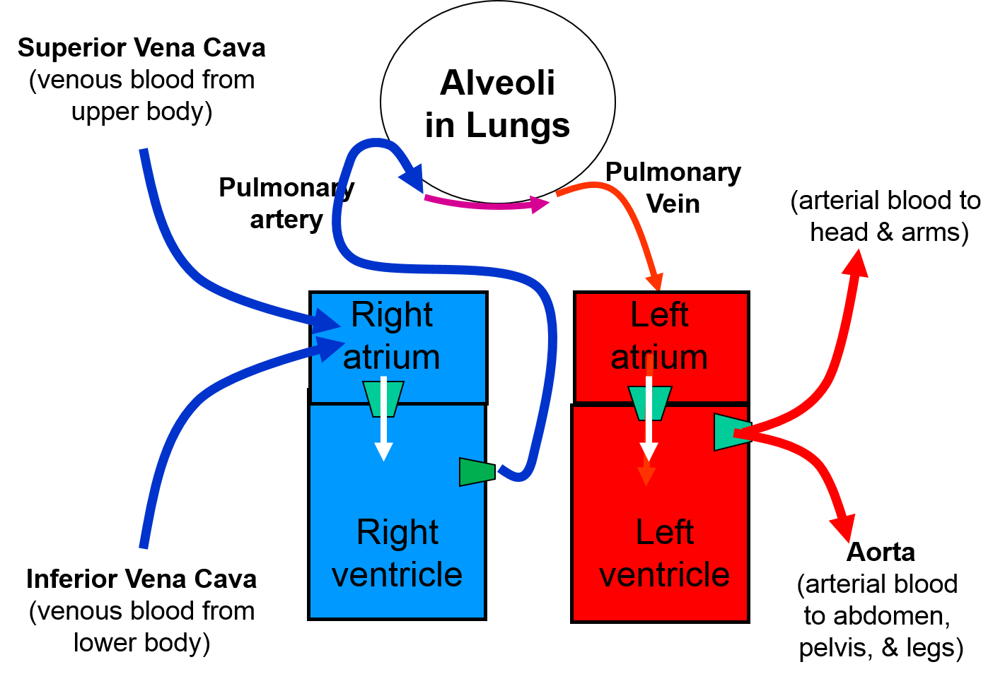 Lungs clipart heart blood vessel. Supplying oxygen and expelling