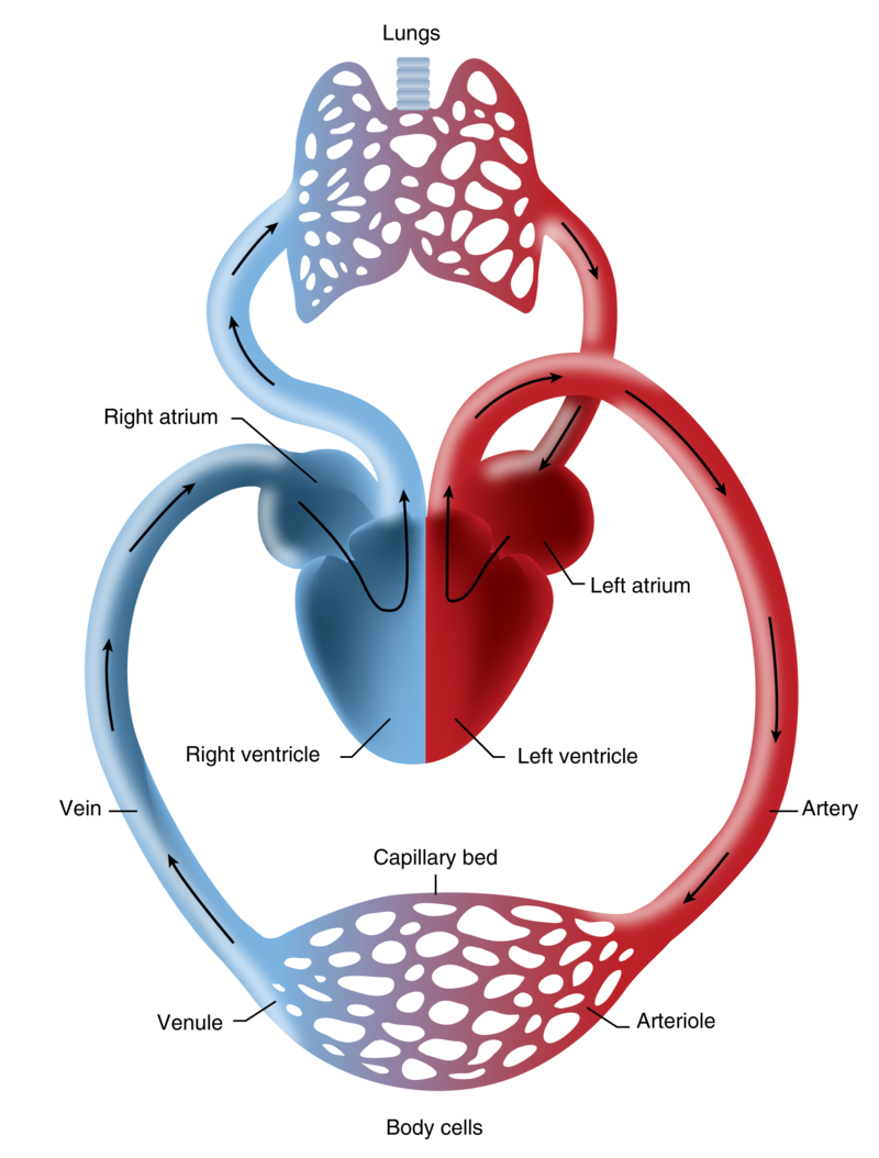 Lungs clipart heart blood vessel. Veins and venules ck