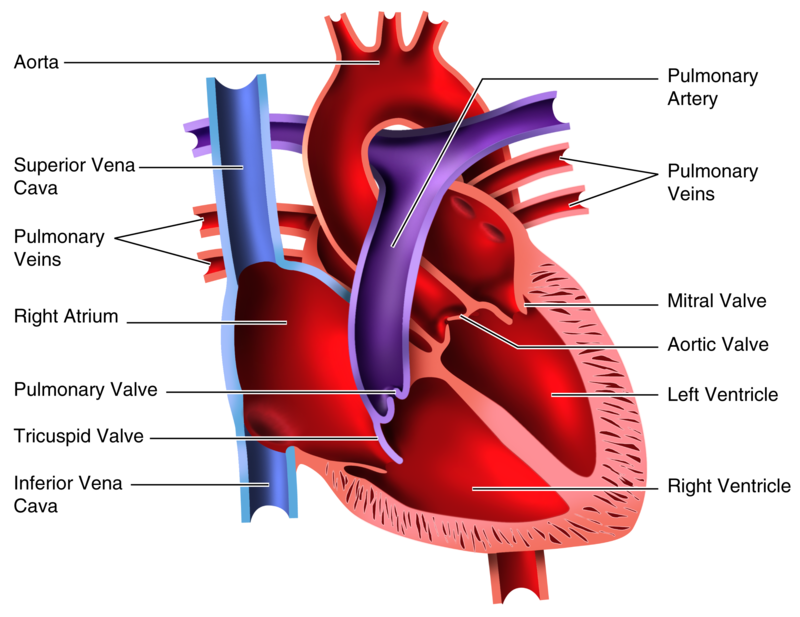 Lungs clipart heart blood vessel. Activities and answer keys