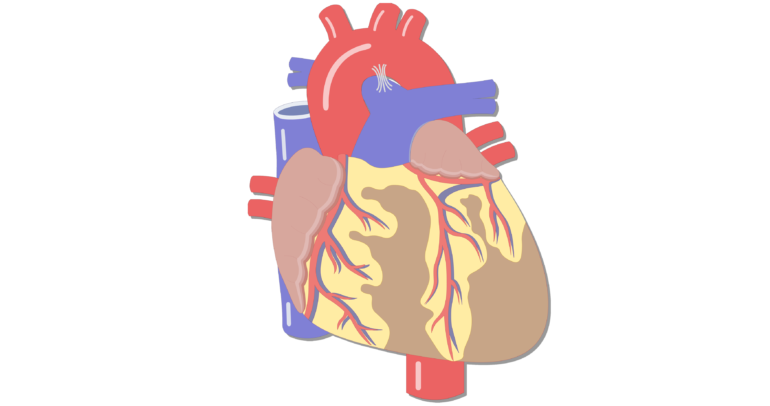 Major vessels of the. Lungs clipart heart blood vessel