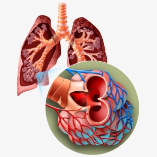 Lungs clipart human biology. Lung free