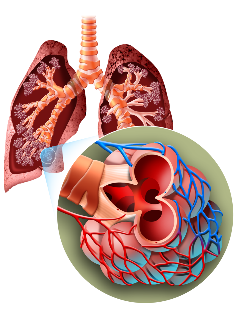 Lungs clipart human biology. Breathing why and how