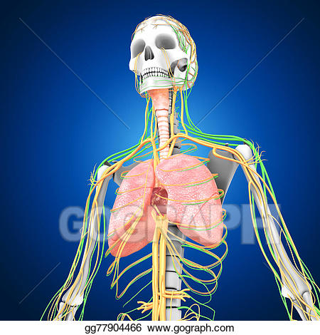 Lungs clipart human biology. Drawing with heart gg