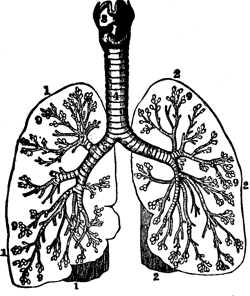 Lungs clipart human biology. Drawing free download best
