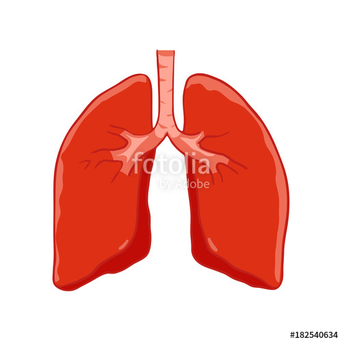 Lungs clipart human lung. Vector front view right