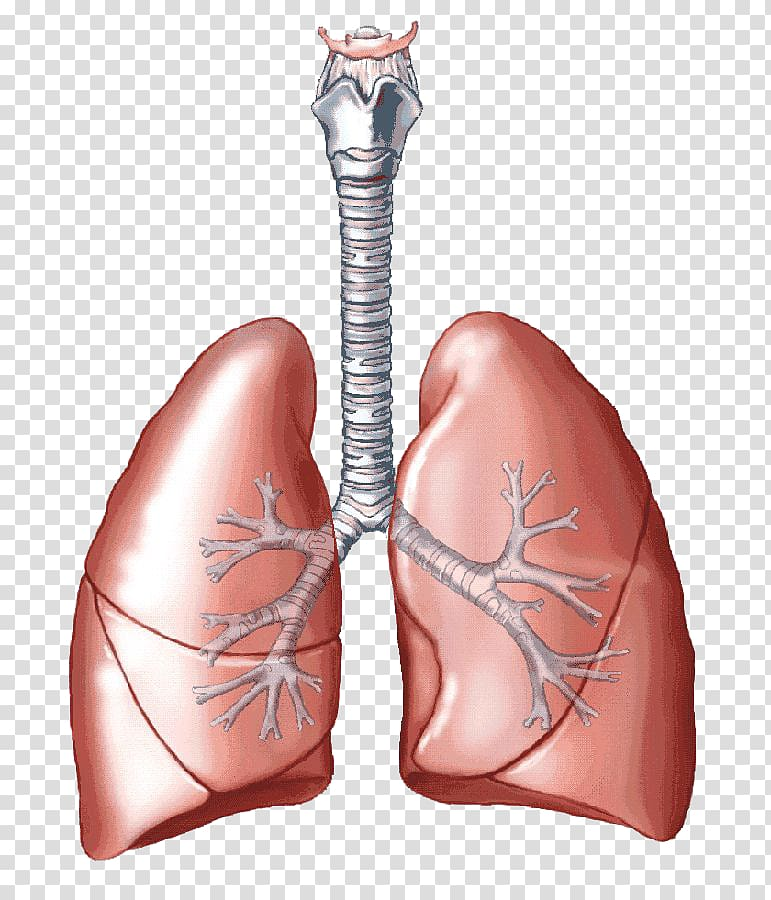 Illustration carbon dioxide breathing. Lungs clipart lung diagram