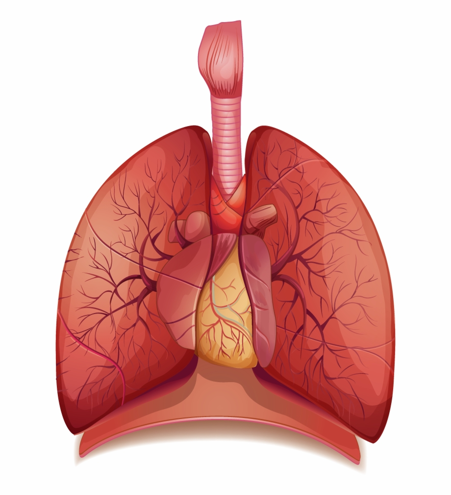 Anatomy png transparent download. Lungs clipart lung diagram