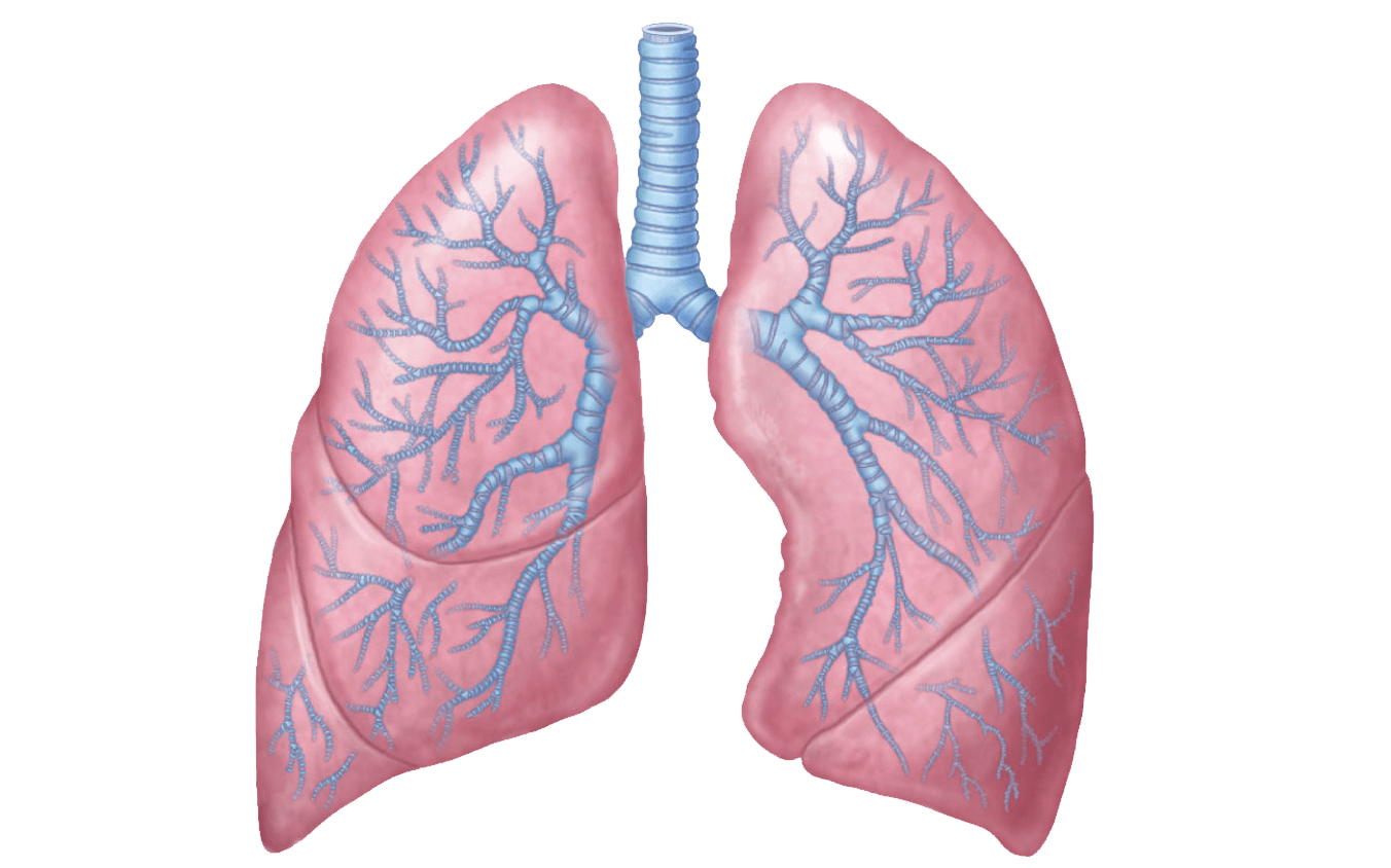 Lungs clipart pink. Rose illustration transparent png