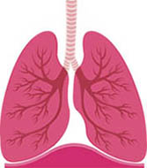 Lungs clipart pink. Free small cliparts download