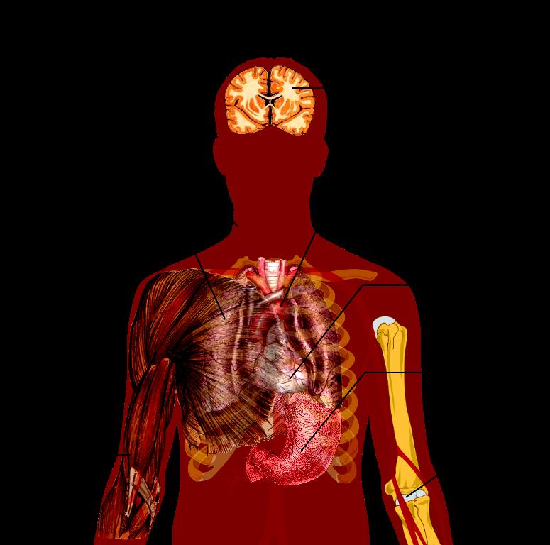 Education chest en n. Lungs clipart pneumonia