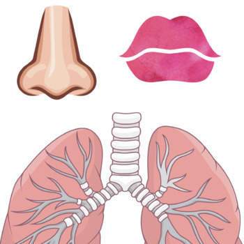 Lung anatomy . Lungs clipart printable