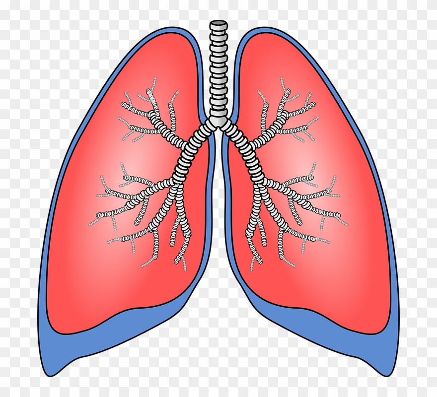 Please plz human png. Lungs clipart printable