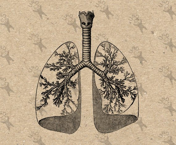 Lungs clipart printable. Vintage image human anatomical