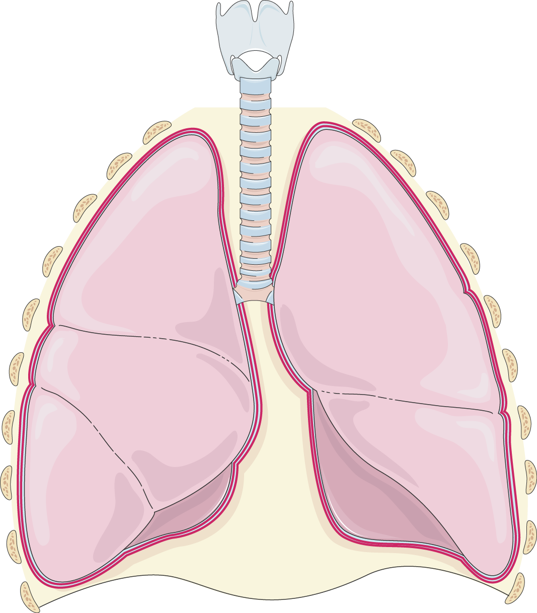Servier medical art free. Lungs clipart pulmonary embolism