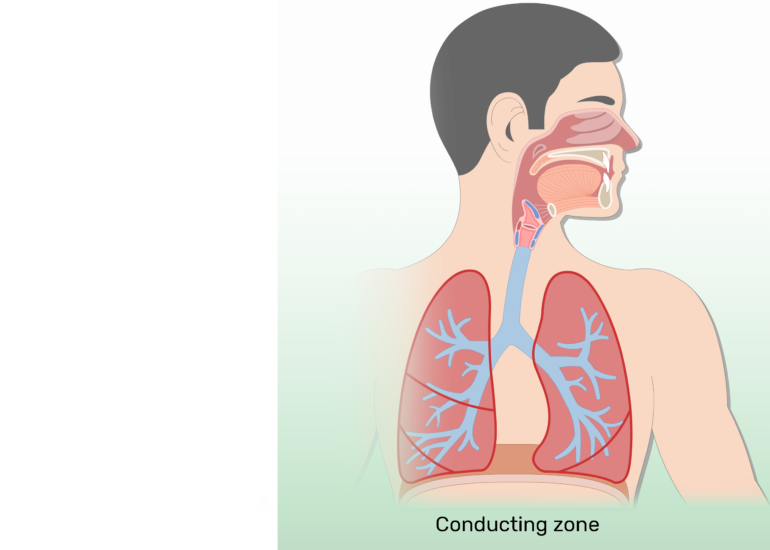 Respiratory system anatomy major. Lungs clipart respiration