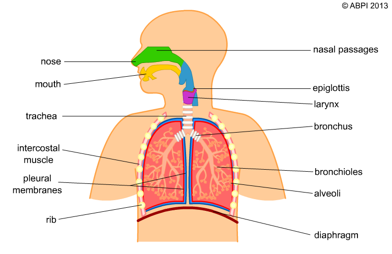 Breathing and asthma . Lungs clipart respiration