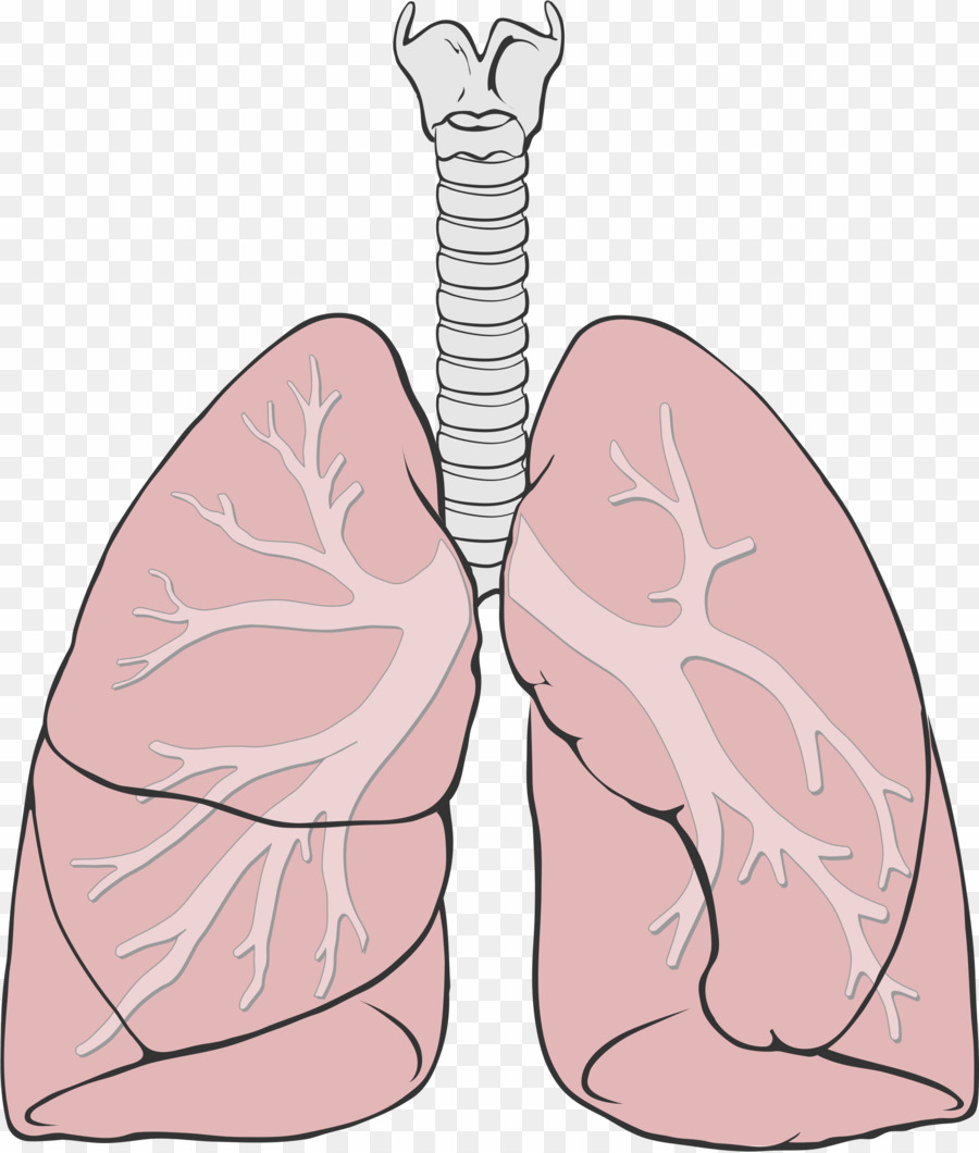 Lungs Clipart Simple  Lungs Simple Transparent Free For Download On Webstockreview 2020