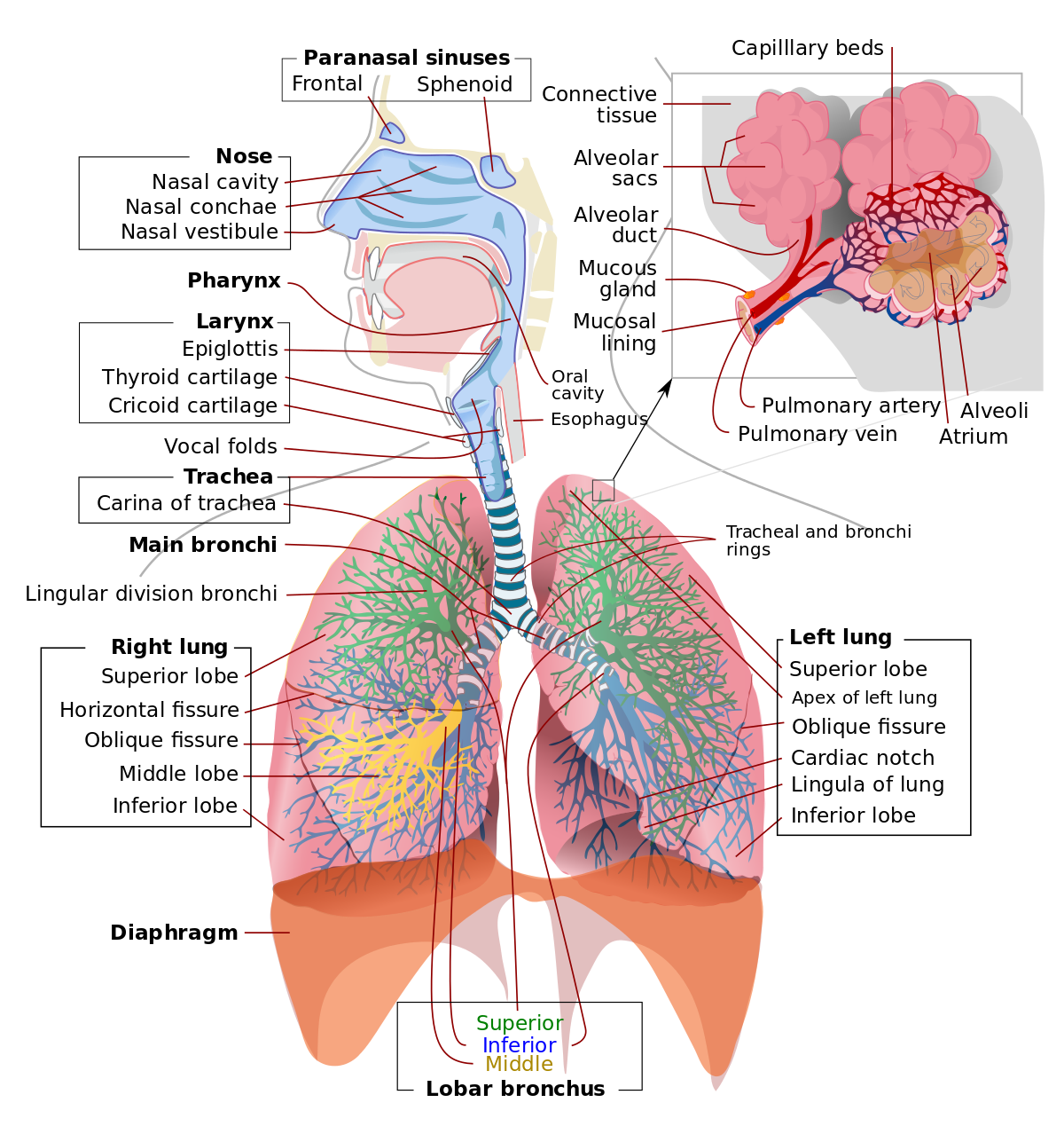 Anatomy of right bronchus. Nose clipart respiratory system