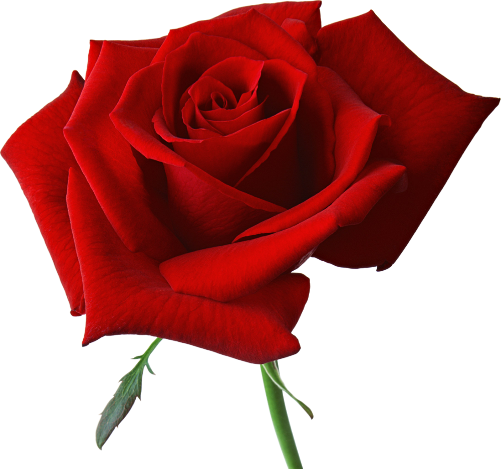 A rose clipground largeredroseclipartpngm. Mop clipart red