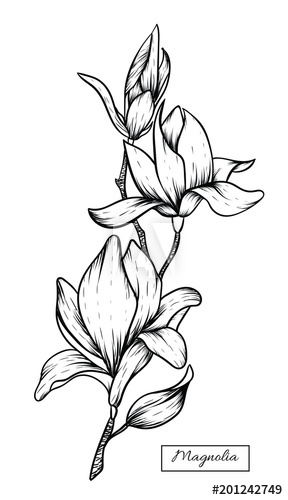 Flowers drawing vector illustration. Magnolia clipart drawn