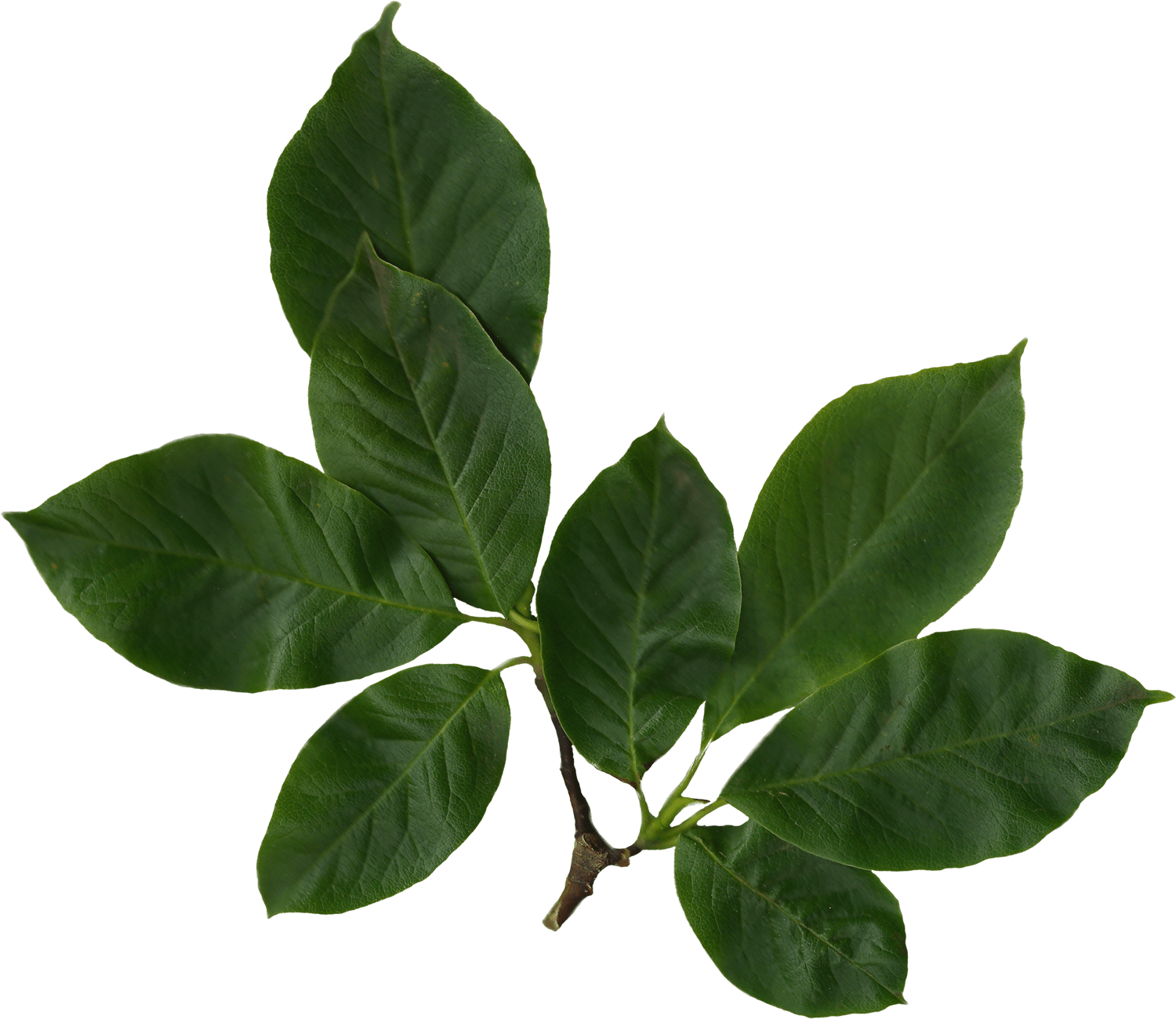Magnolia clipart magnolia leaf. Leaves photo transparent png