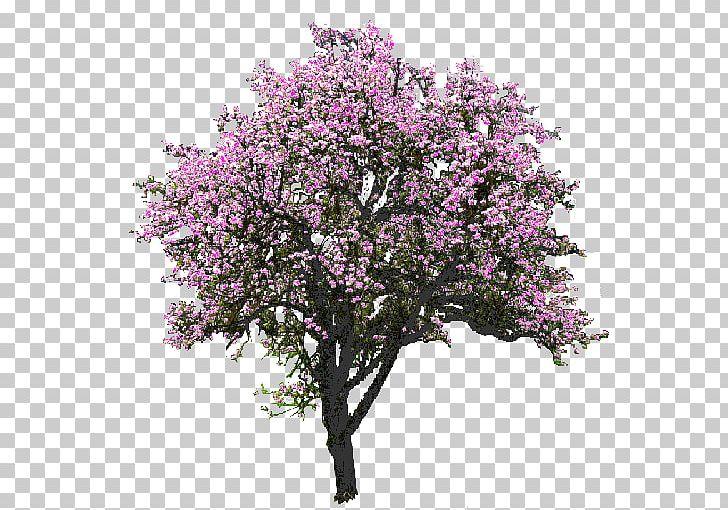 Rendering png blossom branch. Magnolia clipart magnolia tree