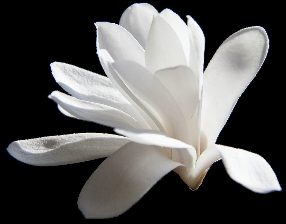 magnolia clipart pink magnolia