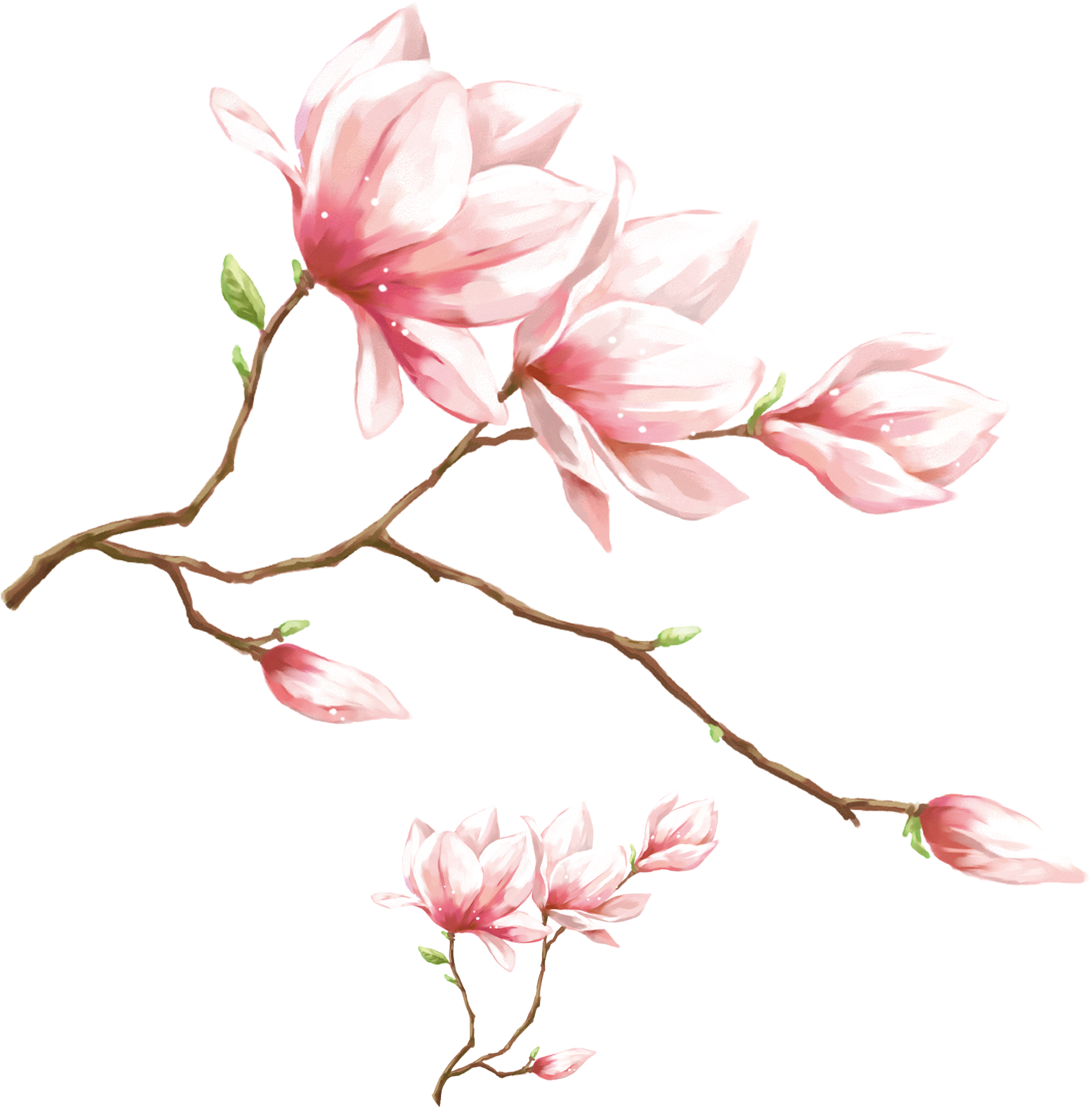 Magnolia flower png.  p high definition