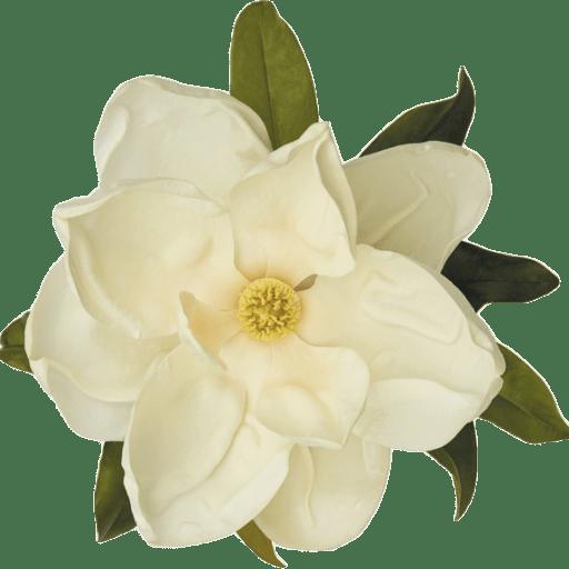 Cropped httpswwwmagnoliagardensalfcomwpcontentuploadscropped magnoliaflowerpng. Magnolia flower png