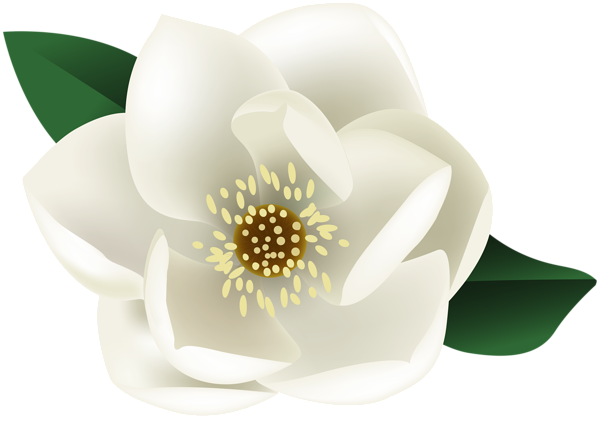 Magnolia flower png. White clip art image