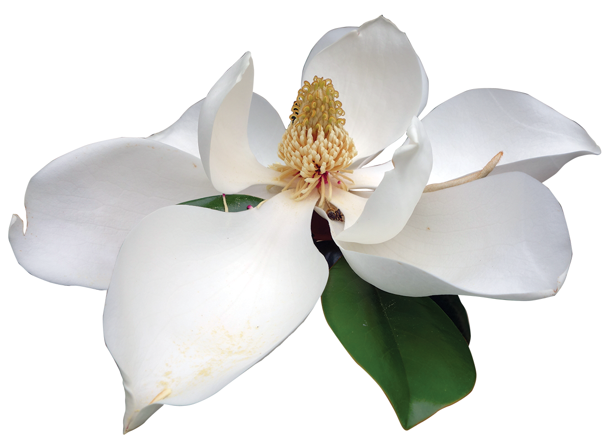 Southern friends of the. Magnolia flower png