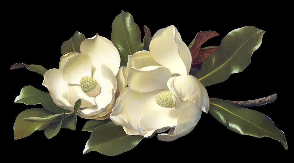 Magnolia flower png. Flowers magnolias large image