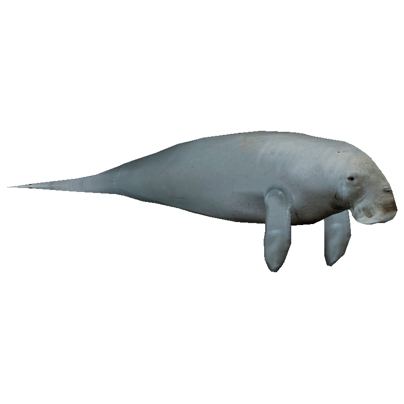 Png transparent images pluspng. Manatee clipart dugong